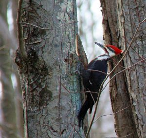 giant woodpecker 5