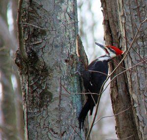 giant woodpecker 5