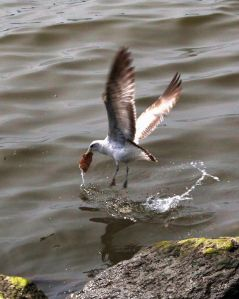seagull catches a fish