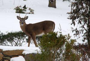 snow day deer 1