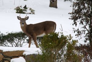 snow day deer 1